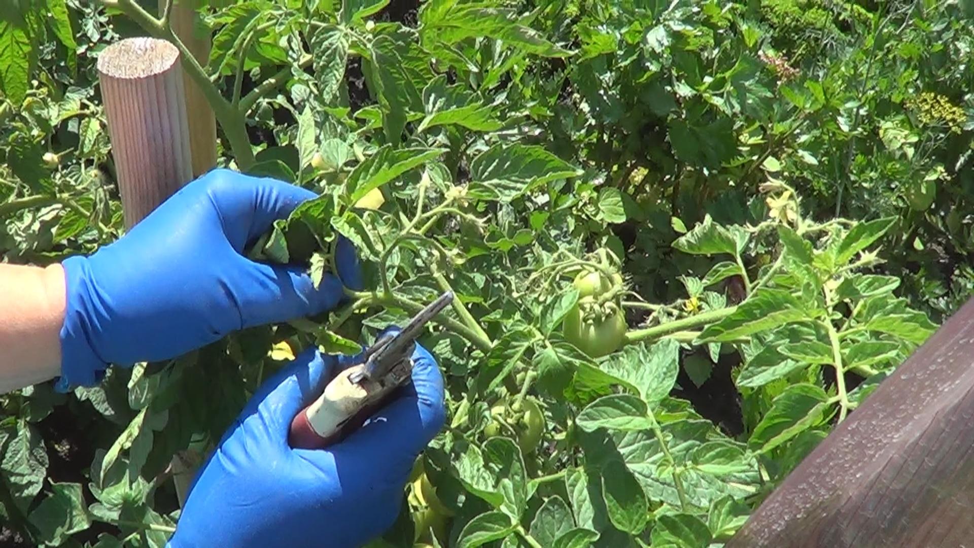 Как прищипывать помидоры обламывание верхушек помидор 36