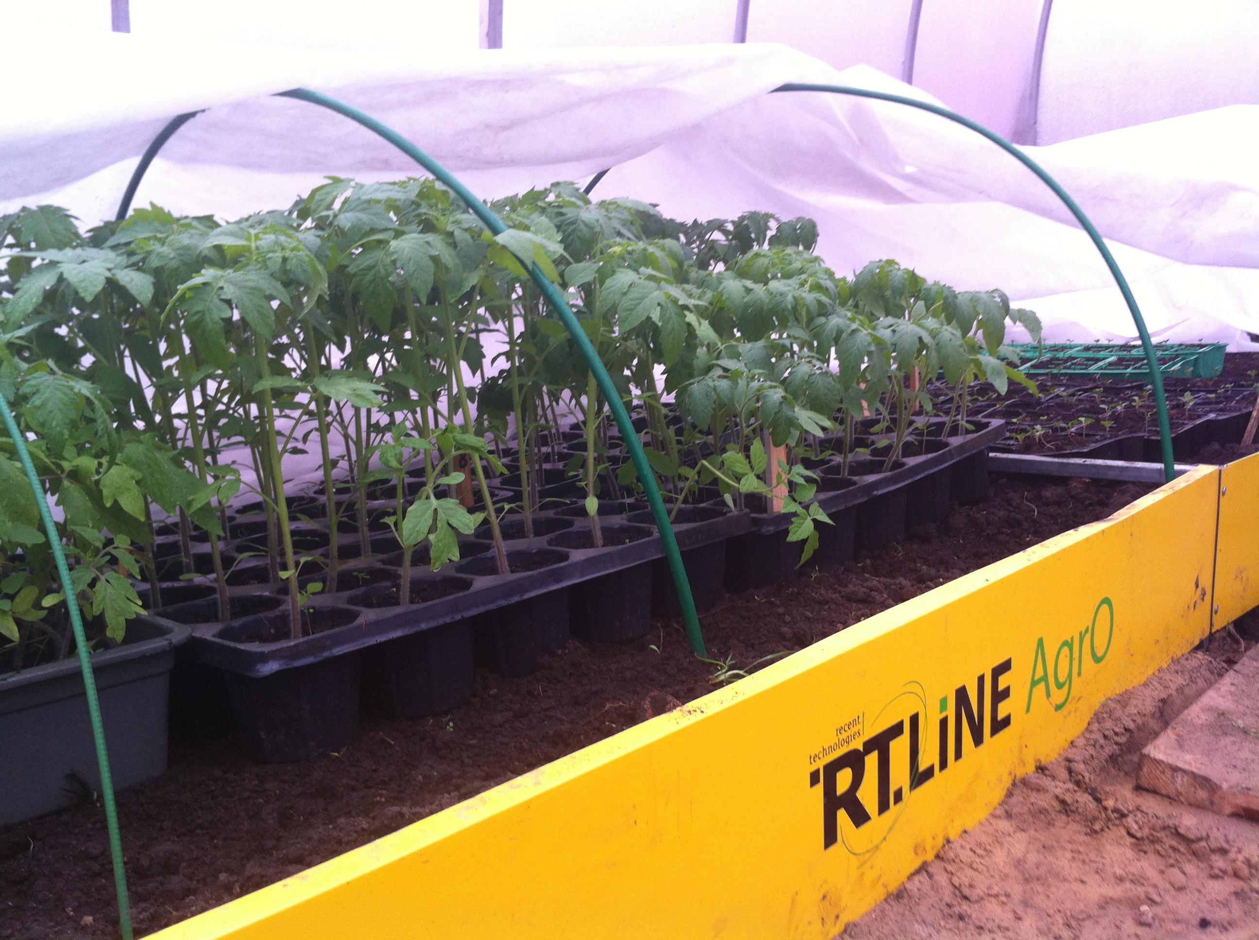Как вырастить рассаду помидоров для теплиц 611